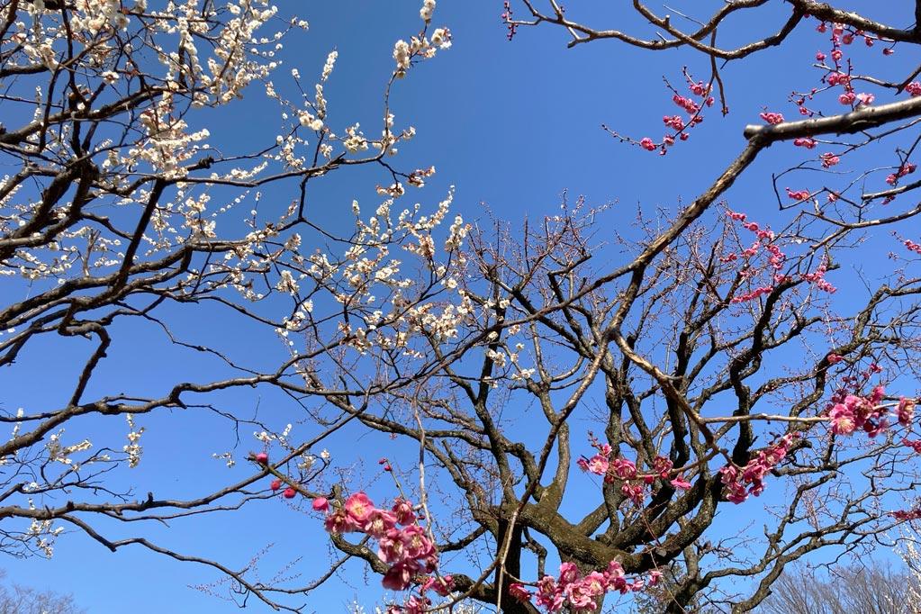 青空に咲く、2月21日の梅